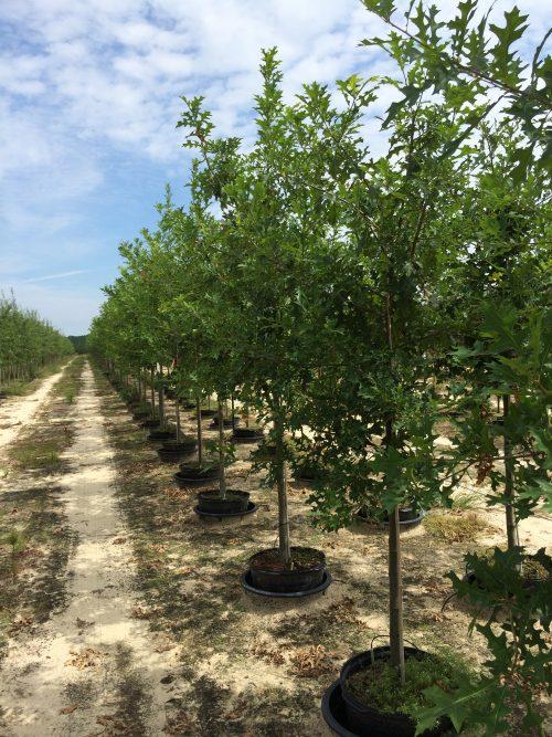 Quercus Nuttalli 15g