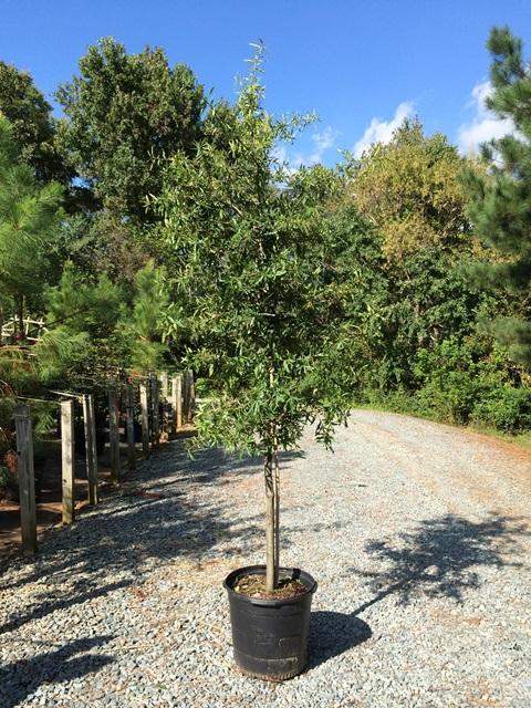 Quercus phellos 15g