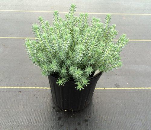 Sedum Blue Spruce 1g