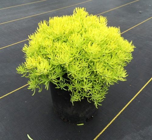 Sedum Lemon Ball 1g