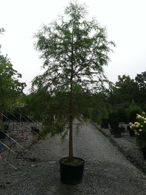 Bald Cypress 30g