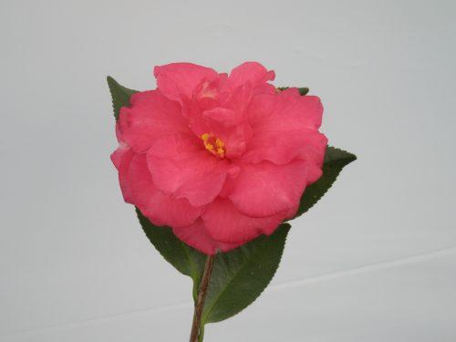 Camellia Shishi Gashira bloom