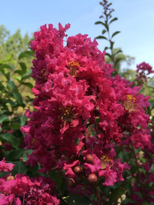 Lagerstroemia Tonto bloom