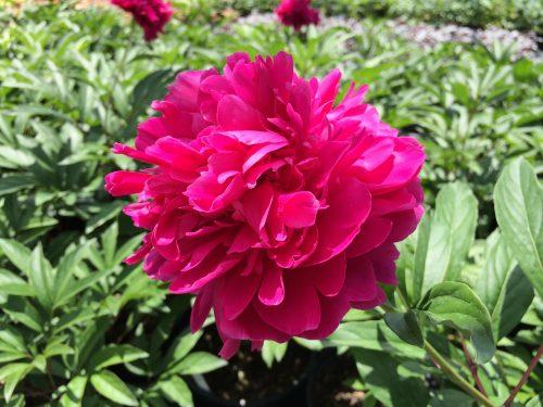 Peony Karl Rosenfield bloom