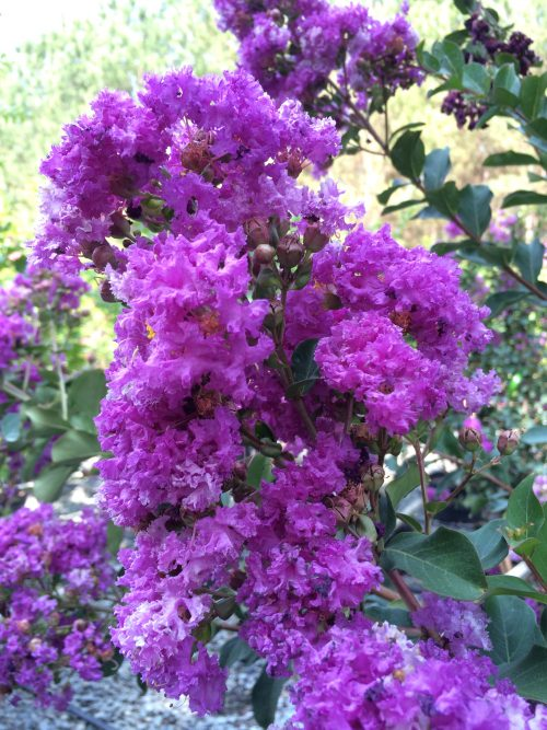 Lagerstroemia Twilight bloom