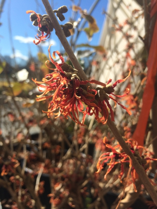 Hamamelis Diane bloom