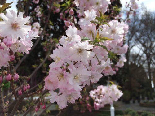 Prunus Autumnalis bloom
