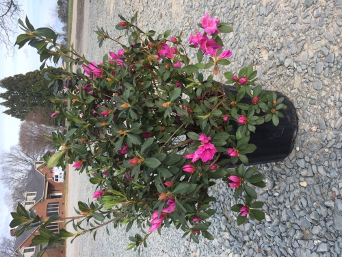 Azalea Formosa 3g March 2017