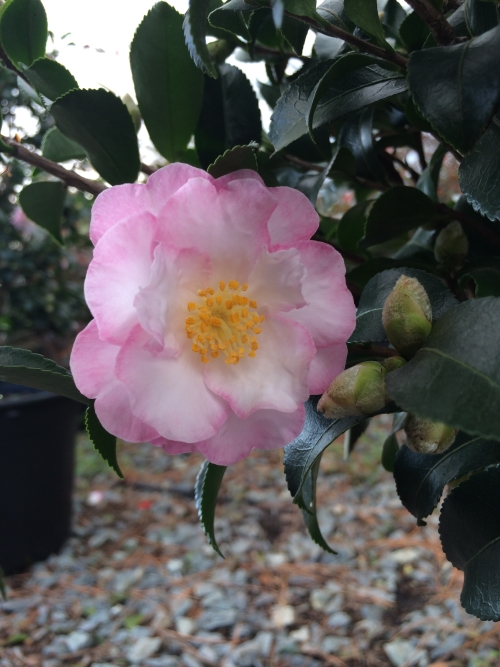 Camellia October Magic® Orchid™ bloom