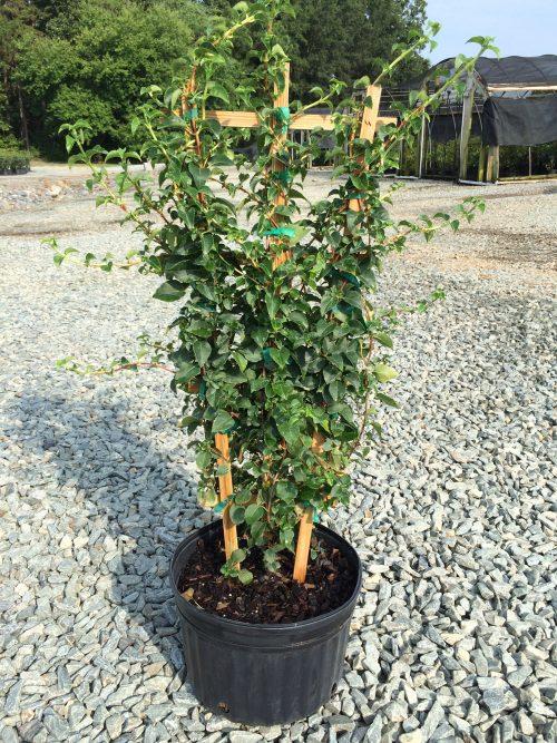 Hydrangea petiolaris 3g
