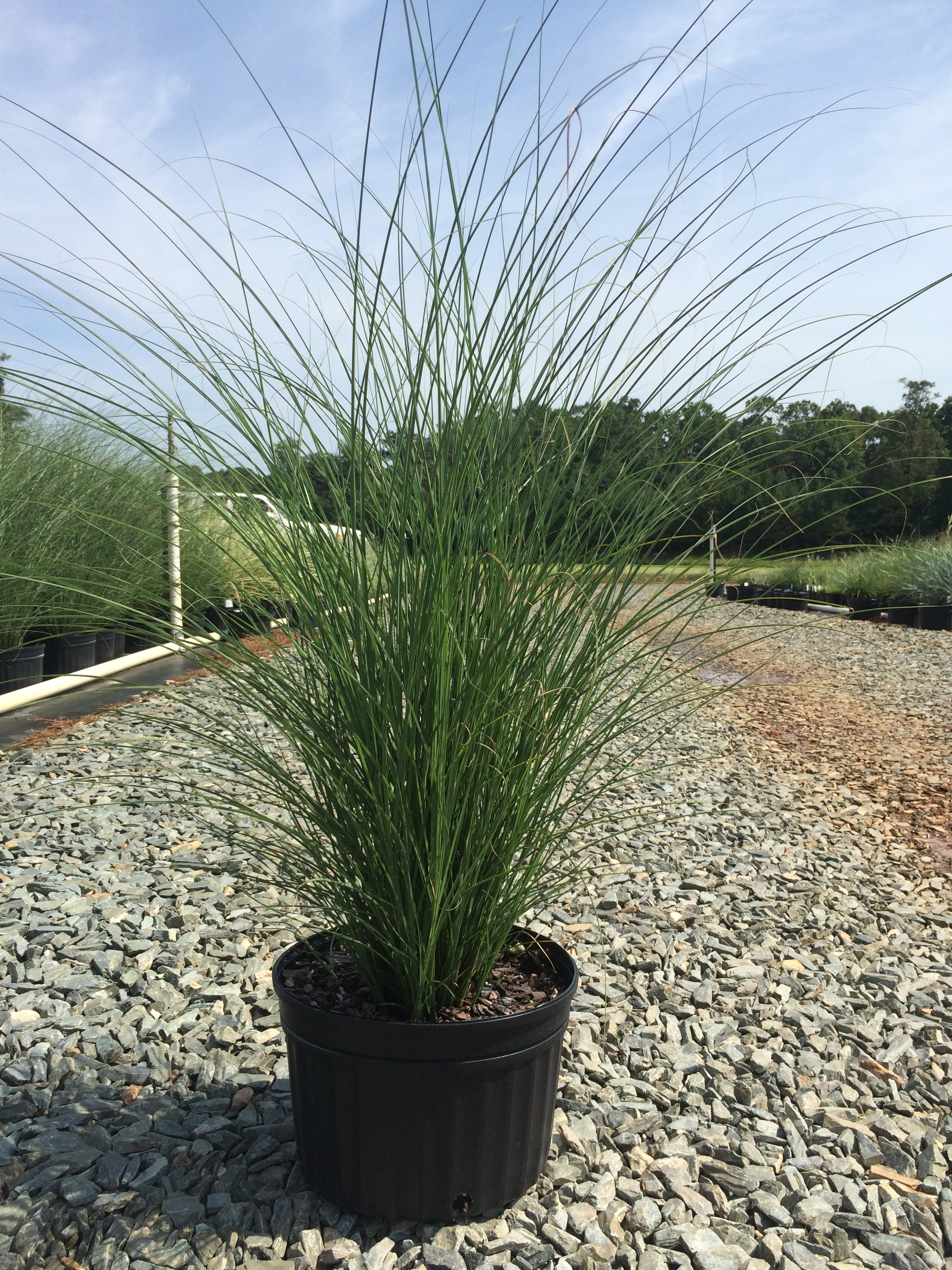 maiden grass gracillimus 3g miscanthus sinensis gracillimus latham 39 s nursery. Black Bedroom Furniture Sets. Home Design Ideas