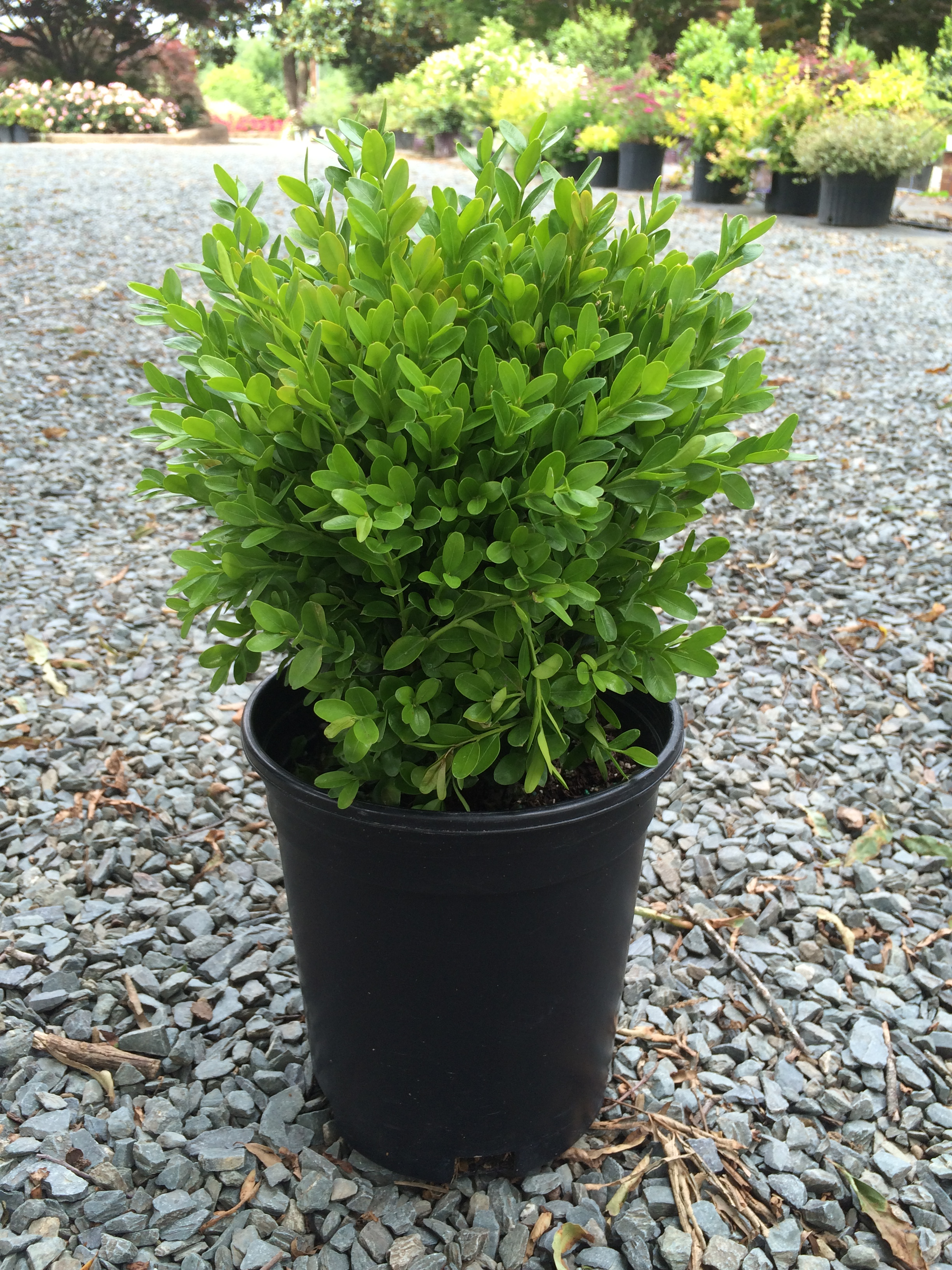 Picture of Live English boxwood aka Buxus s. 'Suffruticosa' Shrubs Plant Fit 1 Gallon Pot
