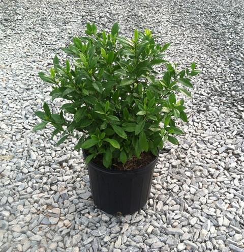 Gardenia U2013 August Beauty 3g (Gardenia Jasminoides U0027August Beautyu0027)