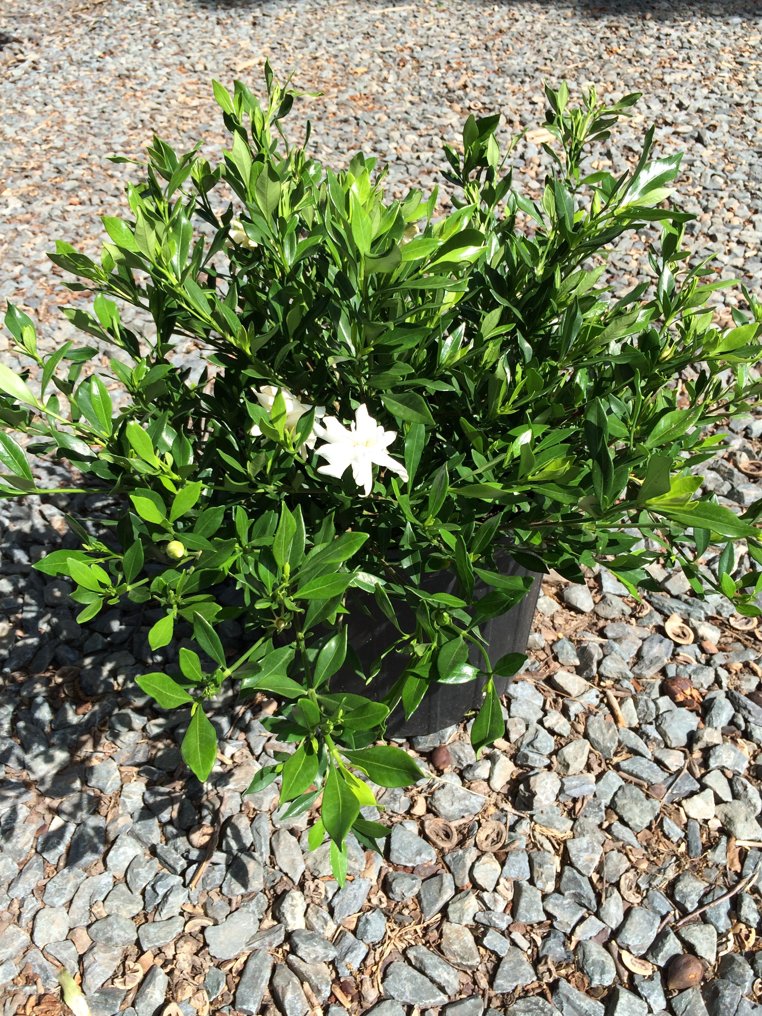 Gardenia – Creeping 3g (Gardenia jasminoides 'Radicans ...Gardenia Jasminoides Radicans Variegata
