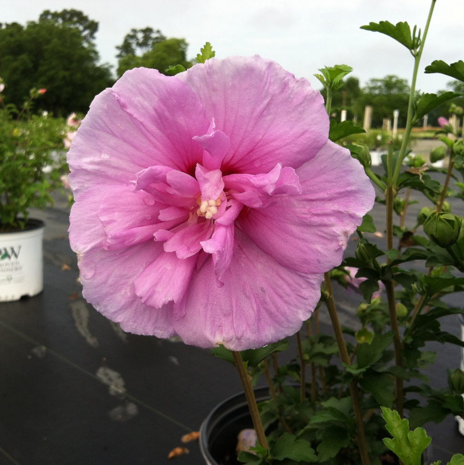 Rose Of Sharon Lavender Chiffon 3g Hibiscus Syriacus Notwoodone