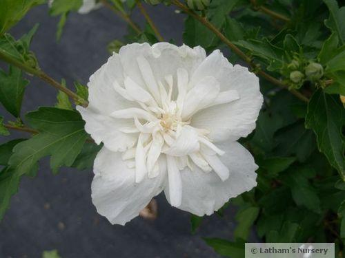 Rose Of Sharon White Chiffon 3g Hibiscus Syriacus Notwoodtwo