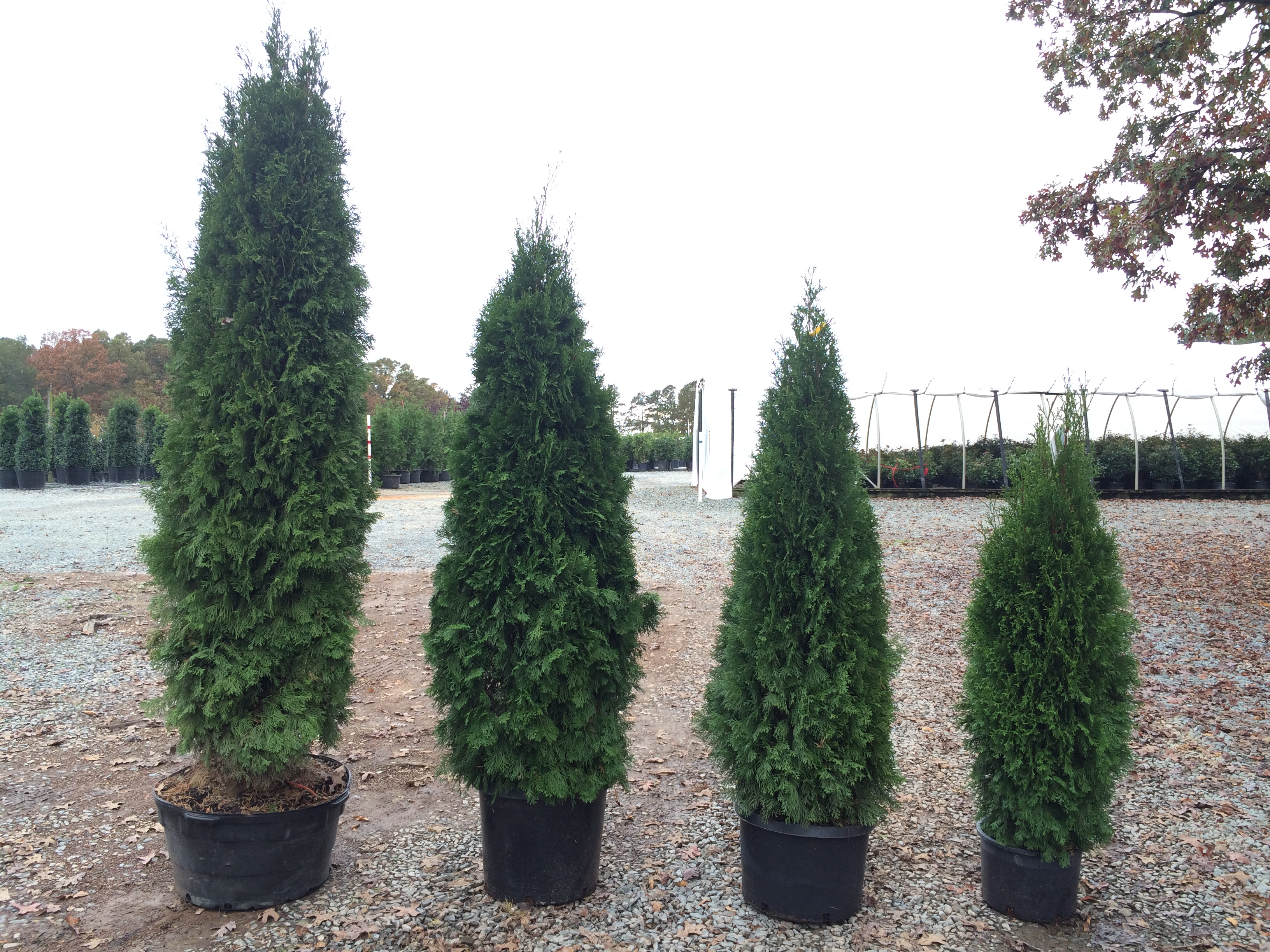 arborvitae emerald green thuja occidentalis smaragd latham 39 s nursery. Black Bedroom Furniture Sets. Home Design Ideas