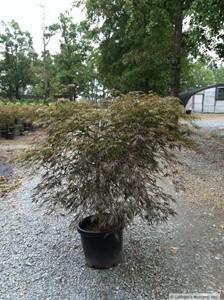 Maple Japanese Tamukeyama Acer Palmatum Var Dissectum