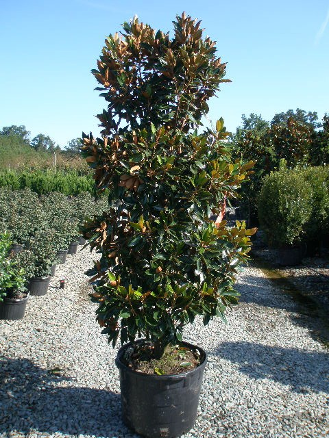 Magnolia Little Gem Magnolia Grandiflora Little Gem Lathams