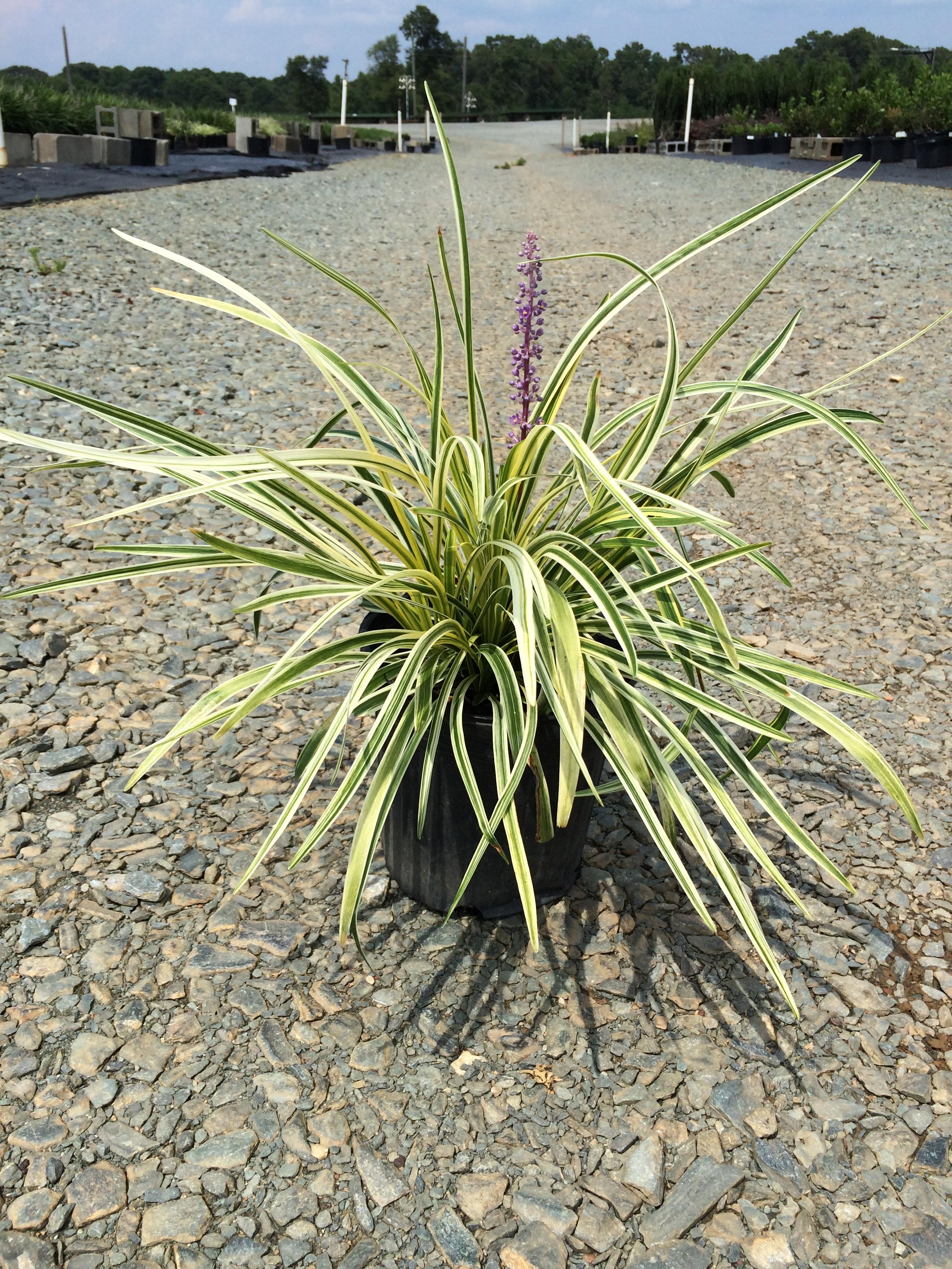 Lilyturf silvery sunproof 1g liriope muscari silvery sunproof lilyturf silvery sunproof 1g liriope muscari silvery sunproof mightylinksfo
