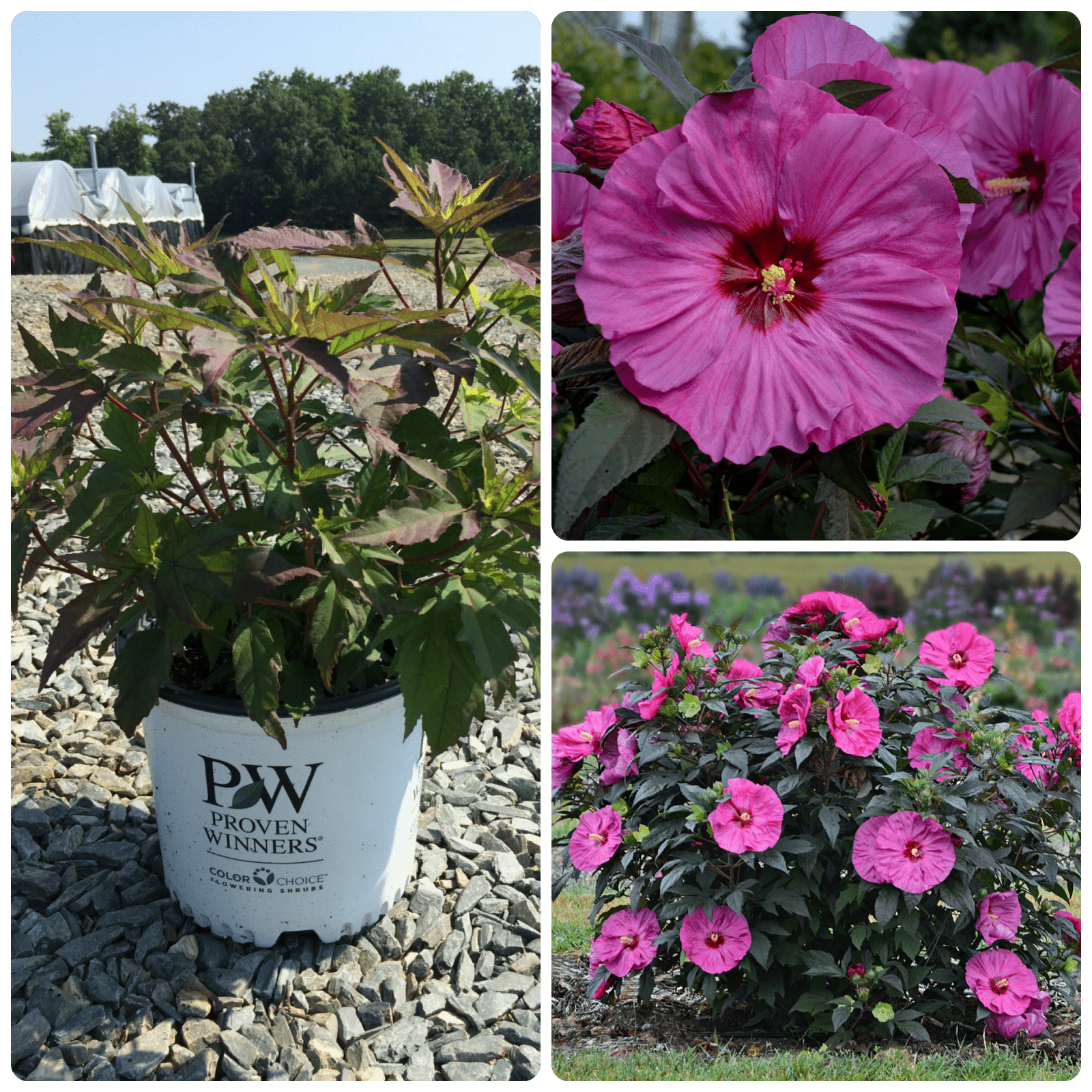Rose Mallow Summerific Berry Awesome 3g Hibiscus X Berry