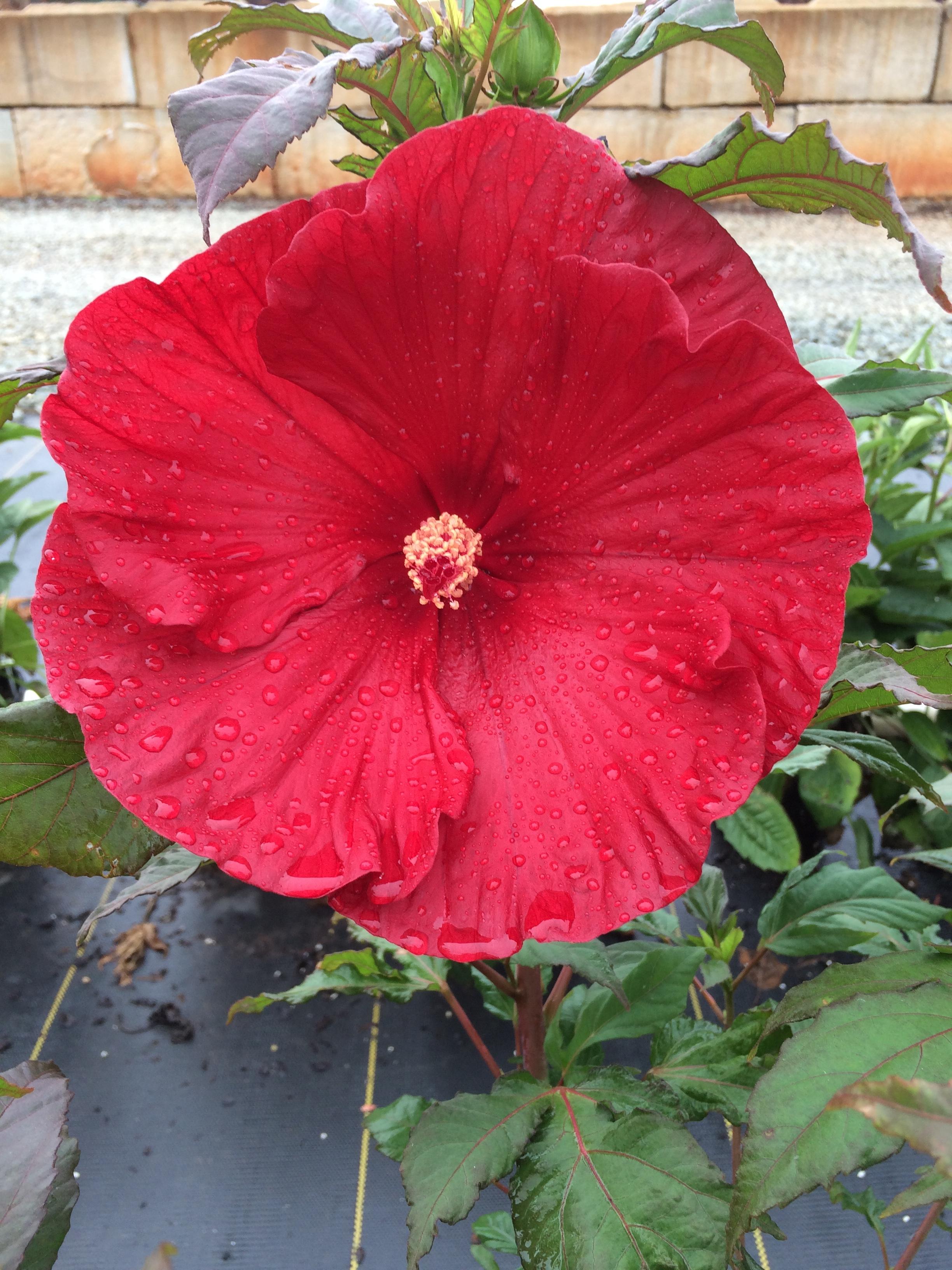 Rose Mallow Summerific Cranberry Crush 3g Hibiscus X Cranberry